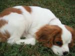 Chien Flash à 4 mois - Cavalier King Charles Femelle (4 mois)