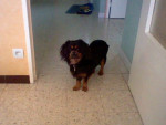 Chien Sally - Cavalier King Charles Femelle (2 ans)