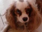 Chien Gaya - Cavalier King Charles Femelle (5 ans)