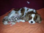 Chien Lillys Wurf - Cavalier King Charles Femelle (0 mois)