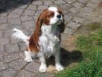 Chien Va-tout - Cavalier King Charles Femelle (5 mois)