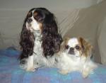 Chien Steffy et Lilou - Cavalier King Charles Femelle (0 mois)