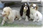 Chien Elsa, Steffy et Lilou - Cavalier King Charles  (0 mois)