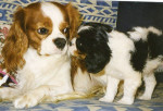 Chien Photo Cavaliers King Charles - Cavalier King Charles  (0 mois)