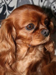 Chien Toscane - Cavalier King Charles  (0 mois)