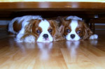 Chien Cindy et Cookie - Cavalier King Charles  (0 mois)