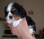 Chien Chiot Cavalier King Charles : Dipsy - Cavalier King Charles  (0 mois)