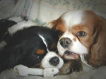 Chien Loulou et Nibble - Cavalier King Charles  (0 mois)