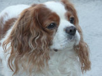 Chien Newton - Cavalier King Charles  (0 mois)