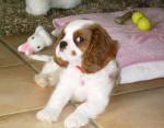 Chien Chanel bébé - Cavalier King Charles  (0 mois)
