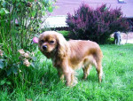 Chien Candy Love de Mayobé - Cavalier King Charles  (0 mois)