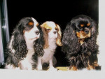 Chien Abysse, Candy et Tatzi - Cavalier King Charles  (0 mois)