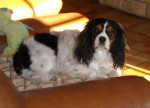 Chien Awen 6 ans - Cavalier King Charles  (6 ans)