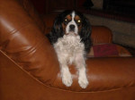 Chien Awen cavalier king Charles 6 ans - Cavalier King Charles  (6 ans)