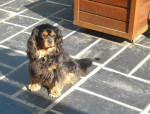 Chien Bingo 4 ans - Cavalier King Charles  (4 ans)