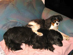 Chien Frimousse et son grand ami Siento - Cavalier King Charles  (0 mois)