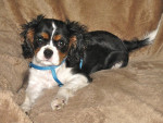 Chien Frimousse petite Cavalier King Charles - Cavalier King Charles Femelle (0 mois)