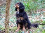 Chien Pixel, 3 ans, chasseresse/ Morbihan - Cavalier King Charles Femelle (3 ans)