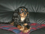 Chien Dinjeure Love - Cavalier King Charles Femelle (2 ans)