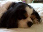 Chien Raquel (dormant) - Cavalier King Charles Femelle (10 ans)