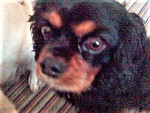 Chien Betty - Cavalier King Charles Femelle (8 ans)