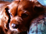 Chien Susi - Cavalier King Charles Femelle (9 ans)