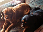Chien Betty & Susi - Cavalier King Charles Femelle (0 mois)