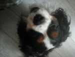 Chien Dickens - Cavalier King Charles Mâle (8 ans)