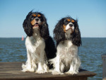 Chien  - Cavalier King Charles  (0 mois)
