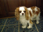 Chien Molly - Cavalier King Charles Femelle (0 mois)