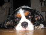 Chien Choupy - Cavalier King Charles Femelle (5 ans)