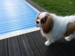 Chien Flash devant la piscine - Cavalier King Charles Femelle (2 ans)