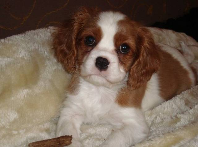 Chien Kleine Lilly (2009) - Cavalier King Charles Femelle (0 mois)