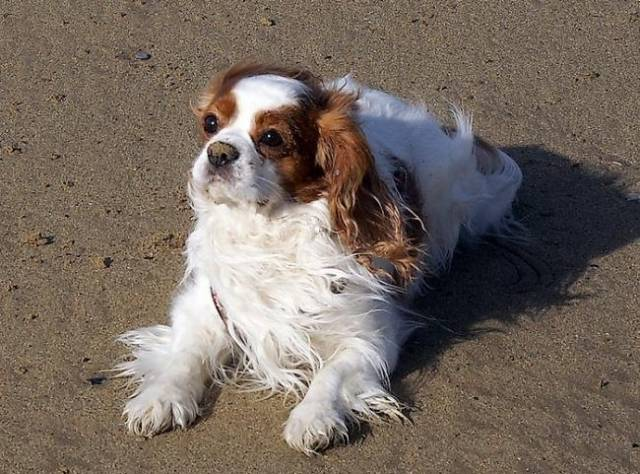 Chien Newton - Cavalier King Charles - Cavalier King Charles  (0 mois)