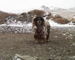 Chien  - Bouvier de Bouriatie-Mongolie  (0 mois)