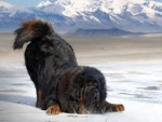 Chien Jay (RP Dog) - Dogue du Tibet Mâle (3 ans)