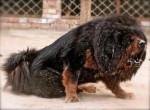 Chien Kill (RP Dog) - Dogue du Tibet Mâle (3 ans)