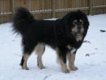 Chien TeraBell - Dogue du Tibet Femelle (3 ans)
