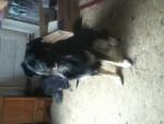 Chien George - Dogue du Tibet Femelle (3 ans)