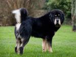 Chien Dogue du Tibet - Dogue du Tibet  (0 mois)