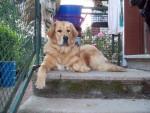 Chien Dogue du Tibet : Damia - Dogue du Tibet  (0 mois)