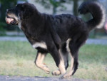 Chien Zodd - Dogue du Tibet Mâle (5 mois)