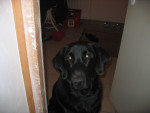 Chien Bibou - Labrador Femelle (7 ans)
