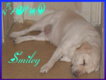 Chien Smiley - Labrador Mâle (11 ans)