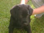 Chien Thor - Labrador Mâle (3 mois)
