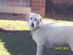 Chien Imogen - Labrador Femelle (8 mois)