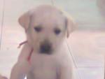 Chien marley - Labrador Femelle (1 mois)