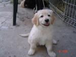 Chien vanille - Labrador Femelle (2 ans)