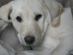 Chien Phelia Abby - Labrador Femelle (1 an)