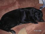 Chien aqua - Labrador Femelle (3 ans et demi)
